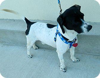 Beagle/Beagle Mix Dog for adoption in Umatilla, Florida - Toby