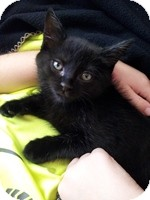 Domestic Shorthair Kitten for adoption in Schertz, Texas - Tooncess