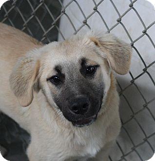 Anatolian Shepherd Mix Dog for adoption in Crumpler, North Carolina - Diesel