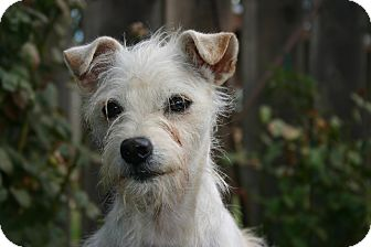 Schnauzer (Miniature)/Terrier (Unknown Type, Small) Mix Dog for adoption in Tracy, California - Opal ADOPTED!!!