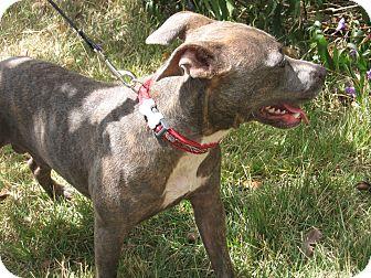 Terrier (Unknown Type, Medium)/Weimaraner Mix Dog for adoption in Alstead, New Hampshire - TINA
