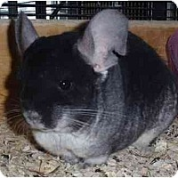 Adopt A Pet :: Twicker - Virginia Beach, VA