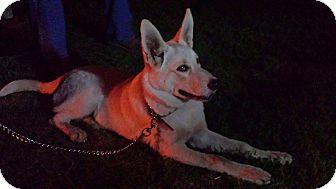 German Shepherd Dog Mix Puppy for adoption in Prole, Iowa - Bingo