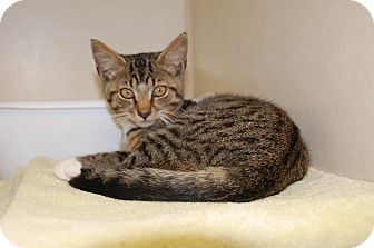 Domestic Shorthair Kitten for adoption in Bucyrus, Ohio - VerminNator