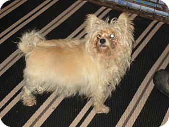 Maltese Mix Dog for adoption in Dodge City, Kansas - Tensil