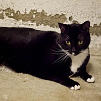 Domestic Shorthair Cat for adoption in Midway City, California - Caleb