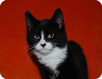 Domestic Shorthair Cat for adoption in Walworth, New York - Dante