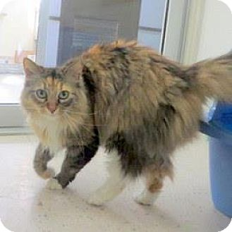Domestic Mediumhair Cat for adoption in Janesville, Wisconsin - Ophelia