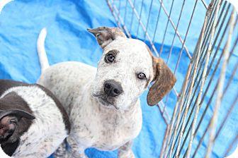 Blue Heeler Mix Puppy for adoption in Macon, Georgia - Dottie