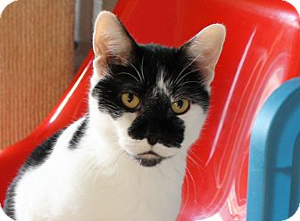 Domestic Shorthair Cat for adoption in Chicago, Illinois - Pepito