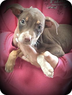American Pit Bull Terrier Mix Puppy for adoption in Kewanee, Illinois - Lizzie