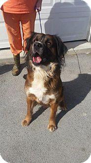 Bernese Mountain Dog Mix Dog for adoption in Greenville, Kentucky - Sampson
