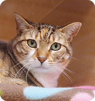 Domestic Shorthair Cat for adoption in Ocean View, New Jersey - Rain