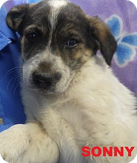Australian Shepherd Puppy for adoption in Franklin, North Carolina - SONNY