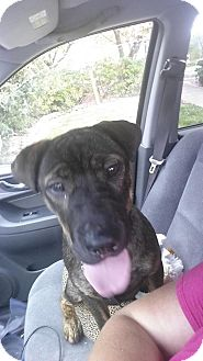 Shar Pei Mix Puppy for adoption in Apple Valley, California - Meiyuh in TN