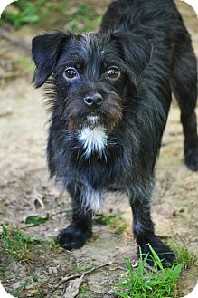 Affenpinscher/Schnauzer (Miniature) Mix Dog for adoption in Hagerstown, Maryland - Tucker