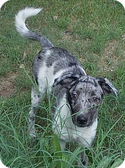 Catahoula Leopard Dog Mix Puppy for adoption in Ball Ground, Georgia - Cajun