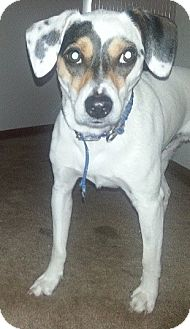 Beagle Mix Dog for adoption in West Allis, Wisconsin - Milo *Courtesy Cupid*