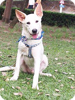 Labrador Retriever/Eskimo Dog Mix Puppy for adoption in Castro Valley, California - Cash