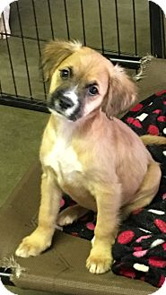 Retriever (Unknown Type)/Spaniel (Unknown Type) Mix Puppy for adoption in Carson, California - HOBIE
