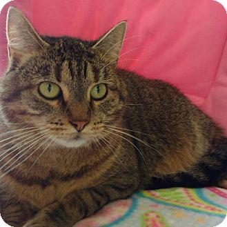 Domestic Shorthair Cat for adoption in Fenton, Missouri - Buttons