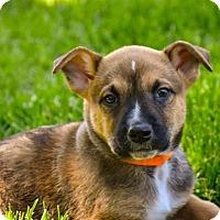 Adopt A Pet :: Shere Khan - Denver, CO