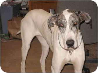 Great Dane Dog for adoption in San Fernando Valley, California - Rainy