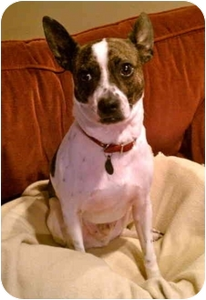 Boston Terrier/Rat Terrier Mix Dog for adoption in Portland, Oregon - Brody