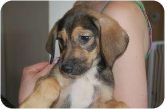 Shepherd (Unknown Type)/Basset Hound Mix Puppy for adoption in Hainesville, Illinois - Fritz