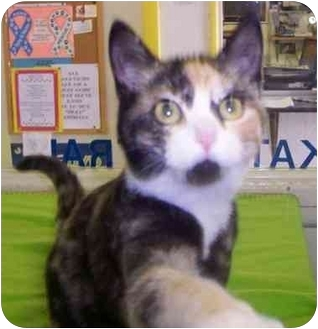 Calico Cat for adoption in Princeton, Indiana - Cloe