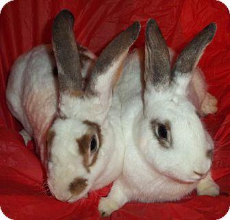 Rex Mix for adoption in Santee, California - Bindi & Bixby