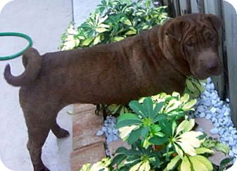 Shar Pei Dog for adoption in Gainesville, Florida - Lacey