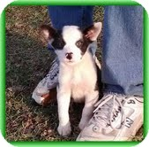 Feist/Terrier (Unknown Type, Medium) Mix Puppy for adoption in Plainfield, Connecticut - Foxy