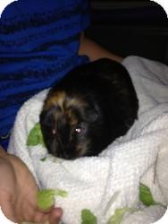 Guinea Pig for adoption in Fullerton, California - Tiana and Bijou
