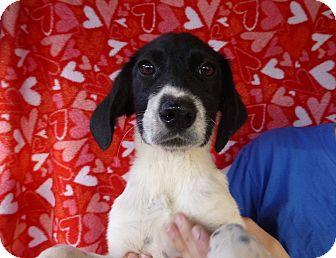 Border Collie Mix Puppy for adoption in Oviedo, Florida - Sara