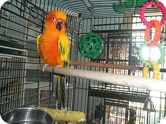 Conure for adoption in Neenah, Wisconsin - Tang