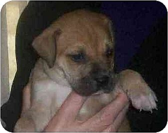 Boxer Mix Puppy for adoption in Old Fort, North Carolina - Boxer Boy #1