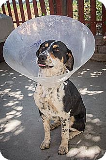 Beagle/Cattle Dog Mix Dog for adoption in Sunnyvale, California - Charlotte