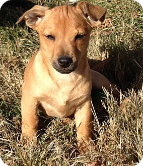 Jack Russell Terrier Mix Puppy for adoption in Spring Valley, New York - Charlie Brown