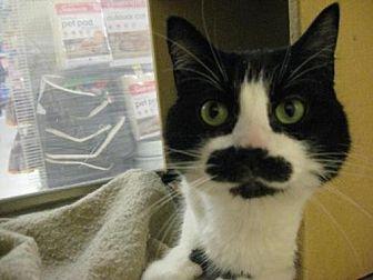 Domestic Mediumhair Cat for adoption in Logan, Utah - Lucia (Lucy)