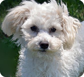 Poodle (Toy or Tea Cup)/Shih Tzu Mix Dog for adoption in Mountain Center, California - Willow