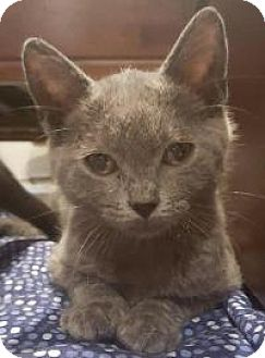 Domestic Mediumhair Kitten for adoption in East Hanover, New Jersey - Cain and Abel