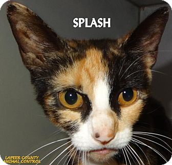 Calico Cat for adoption in Lapeer, Michigan - SPLASH--THAT FACE! FEE WAIVED