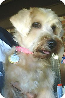 Yorkie, Yorkshire Terrier/Jack Russell Terrier Mix Dog for adoption in Mount Pleasant, South Carolina - Emma