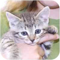 Domestic Shorthair Kitten for adoption in Coleraine, Minnesota - Jewel