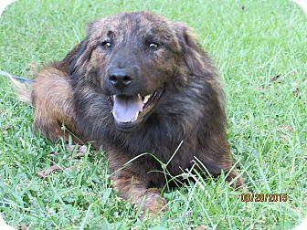 German Shepherd Dog Mix Dog for adoption in SOUTHINGTON, Connecticut - Beau