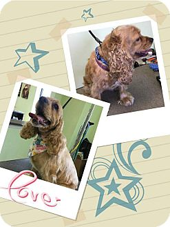 Cocker Spaniel Mix Dog for adoption in Plainfield, Illinois - Axle