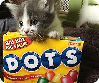 Domestic Shorthair Kitten for adoption in Chicago, Illinois - Dot