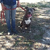 Pit Bull Terrier Dog for adoption in Santa Monica, California - Tiny 2