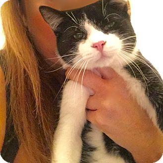 Domestic Shorthair Kitten for adoption in Long Beach, New York - Ray Ray